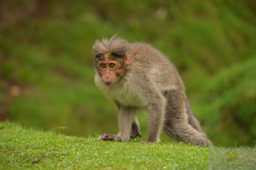 bonnet macaque on kikuyugrass at Kodaikanal | by Asian Turfgrass Center