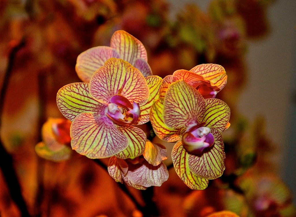... Orchid Show 2015   Chicago Botanic Garden   Glencoe IL | By Meridith112