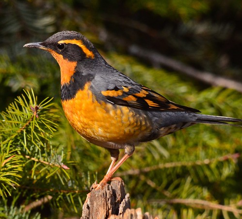 Varied Thrush | by ebeckes