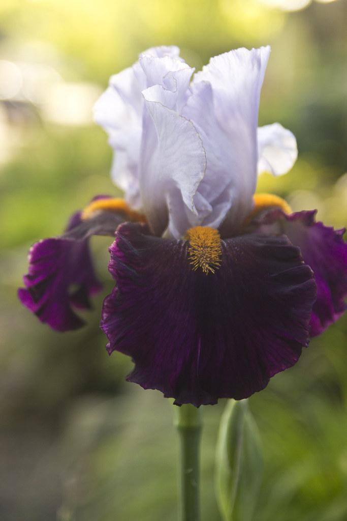 iris morning 1