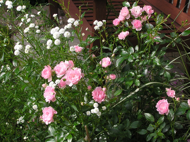 Rosa 'The Fairy' & Achillea ptarmica