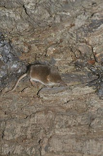 Pygmy Shrew | by markhows