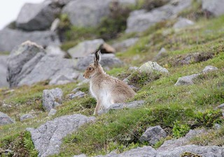 Mountain Hare | by markhows