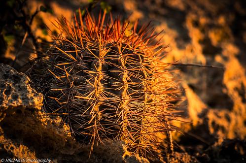 Barrel Cactus Barrel Cactus-genus