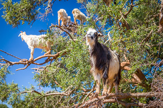 Goats in trees | by Fred Dunn