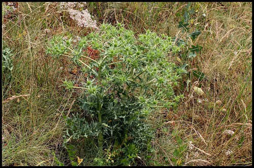 Eryngium campestre - panicaut champêtre 28222655122_cbd9deceab