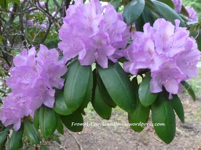 Rhododendrons purple 2