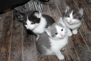 328/365/2519 (May 5, 2015) - Kitten Season is Here!  Kittens and Cats at the Crafty Cat Rescue (Ann Arbor, Michigan) - Tuesday May 5, 2015