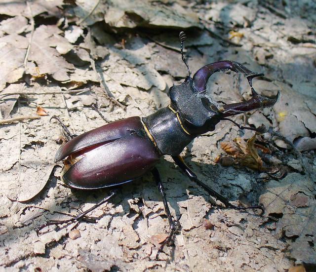 Roháč obecný (Lucanus cervus) ♂