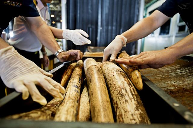 被查獲的非洲象象牙。(來源:WWF / James Morgan)