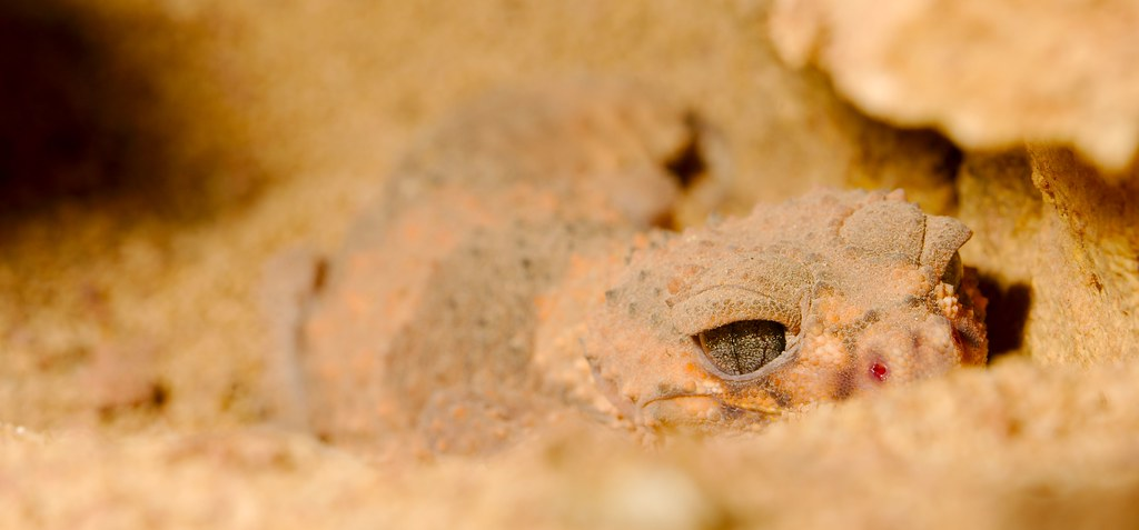 Wheelers Knob Tailed Gecko
