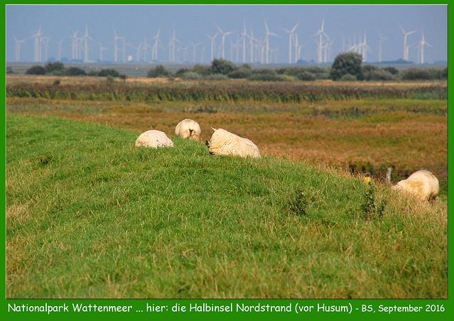 Seeheilbad Nordstrand (vor Husum) ... Grünes Herz des Wattenmeers ... saftiges Grün und unzählige Schafe ... Fotos und Collagen: Brigitte Stolle 2016