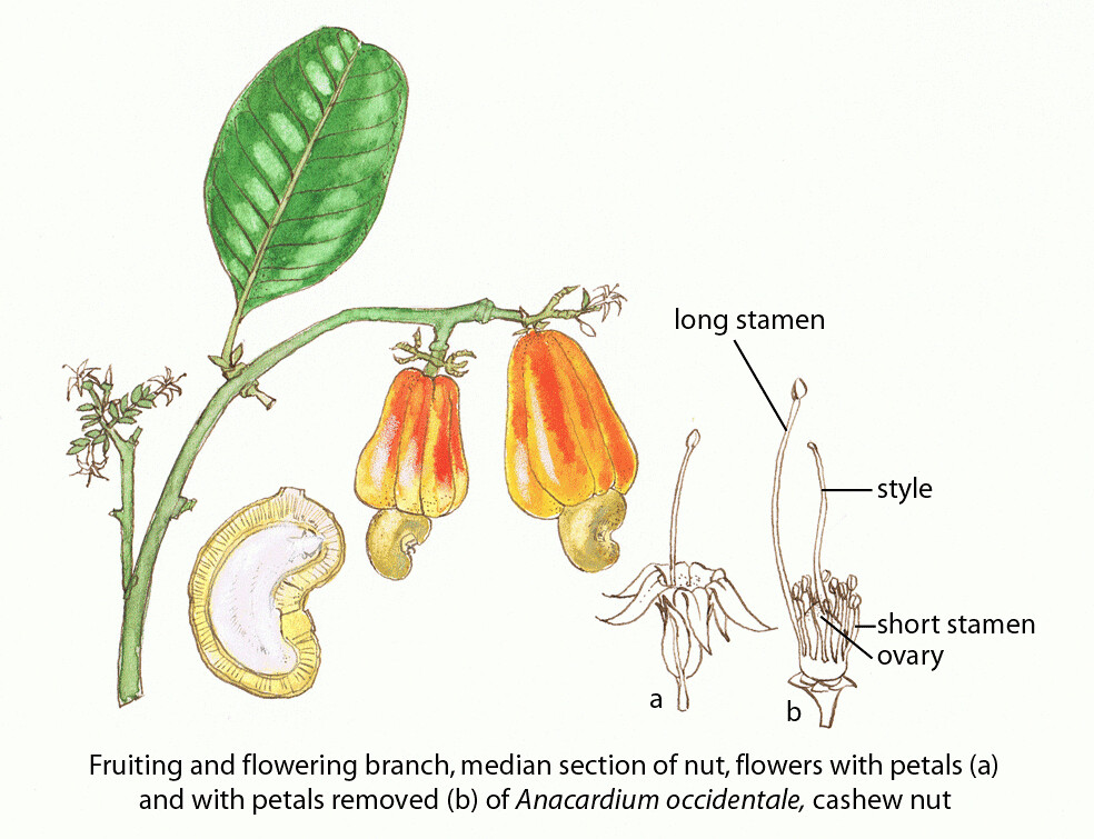 Cashew nut faoguida joseph floral diagrams of pollinator flickr cashew nut faoguida joseph by fao of the un ccuart Choice Image