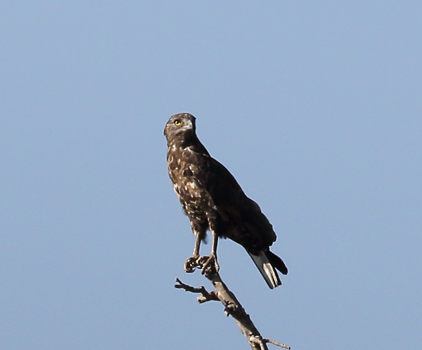 PE1A1519 Brown Snake Eagle Possibly Day7 The Bold