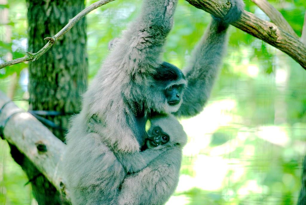 Javan Gibbon_34