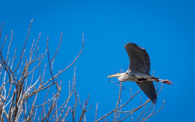 064/365: Grey Heron