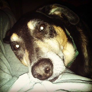 My snuggle monster is having surgery today... Keep Tut in your thoughts! #dogstagram #muttstagram #rescuedog #coonhoundmix #snugglydog #adoptdontshop #seniordog #instadog