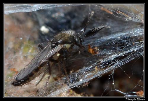 Forcipomyia sp. mâle