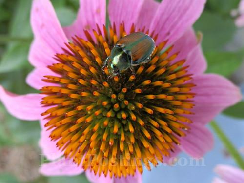 beetle cone