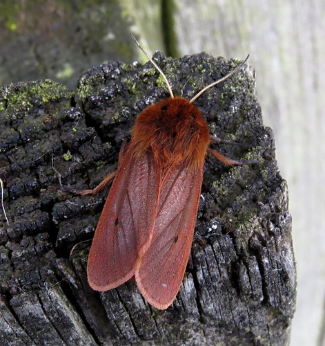 Ruby Tiger Phragmatobia fuliginosa Tophill Low NR, East Yorkshire May 2015