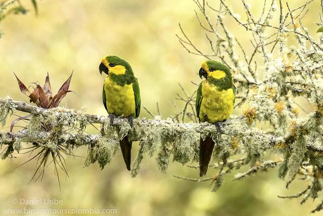 Yellow-eared Parrot / Ognorhynchus icterotis / Loro Orejiamarillo