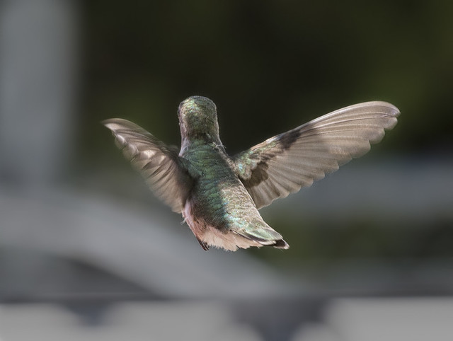 Hummingbird Flying Away