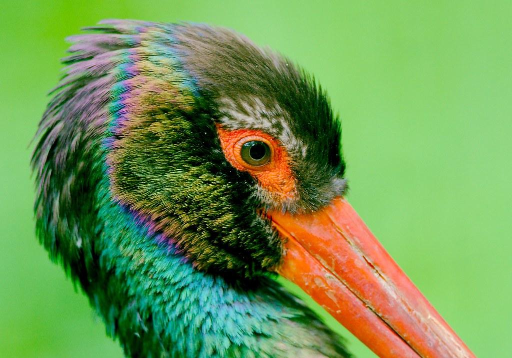 Black Stork_12