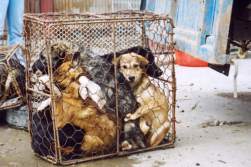 Dogs jumbled in cage, China 2011