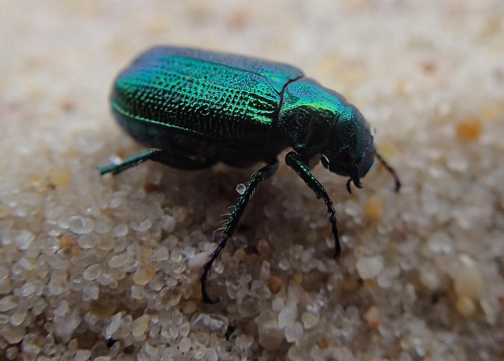 closeup macro beautiful metallic green blue Jewel Beetle ...