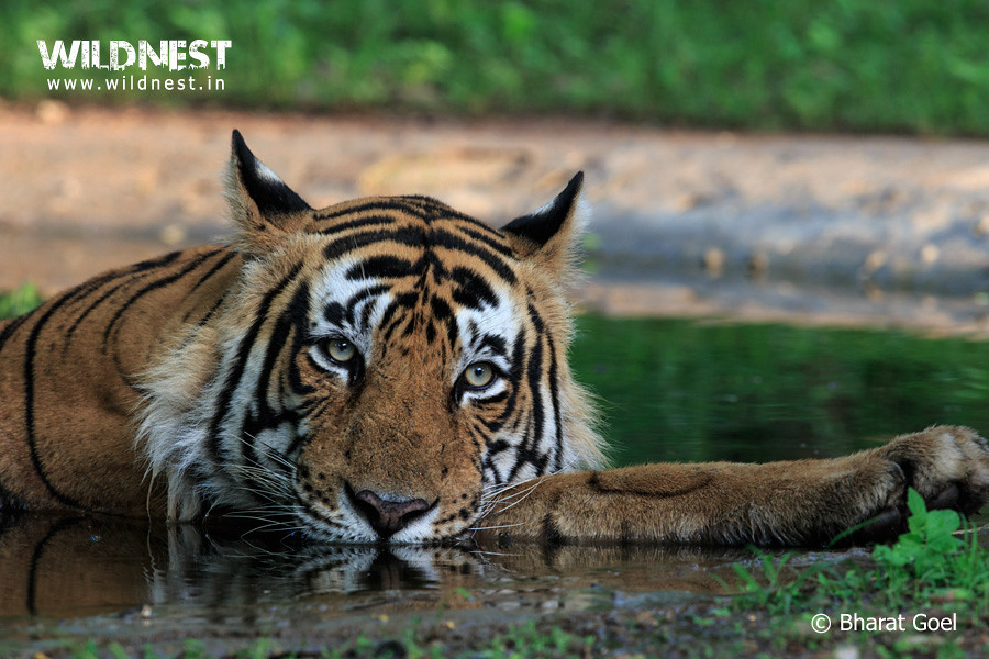 tiger-water-summers-ranthambore