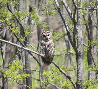 Barred Owl | by U.S. Fish and Wildlife Service - Midwest Region