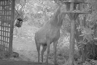 Red Stag at birdfeeder