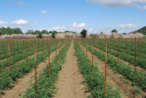 Your Farm News in Photos - Tomato Musk