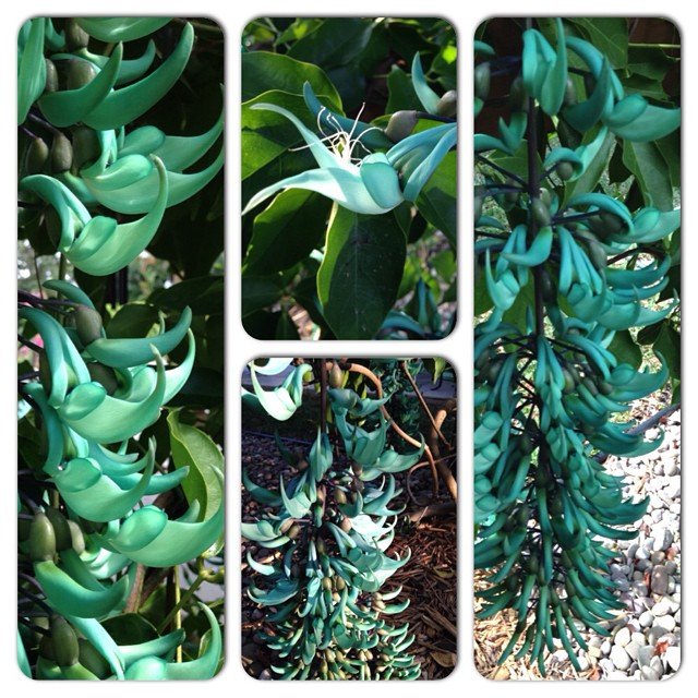 After two years of waiting and care, Keith's jade vine finally bloomed today. #nofilter #backyardgarden #jadevine