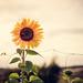 Evening Sun Flower