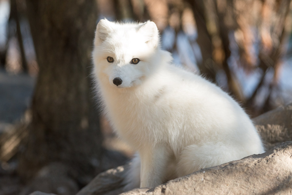 Arctic Fox Full Coat Eric Kilby Flickr
