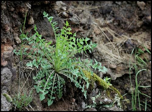 Lactuca perennis - laitue vivace 27919036023_fe3cb2f712
