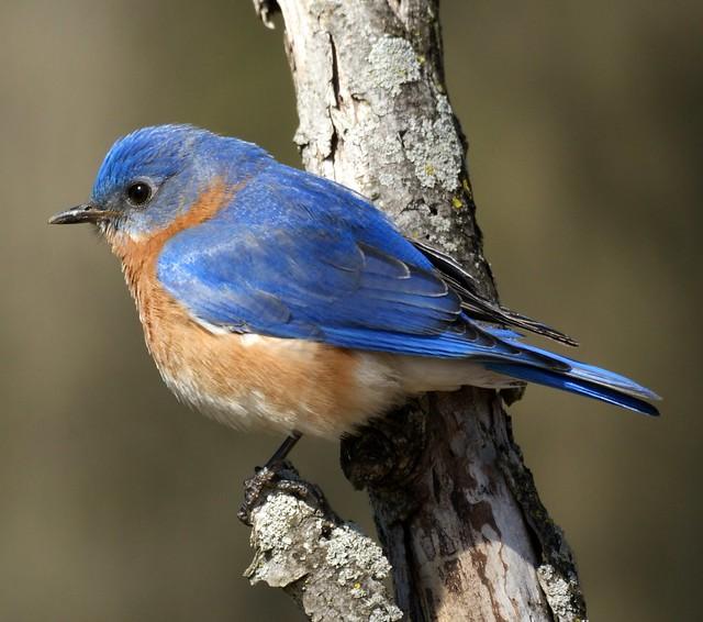 Eastern Bluebird male close-up bird