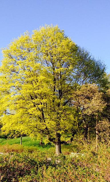 puu Töölössä
