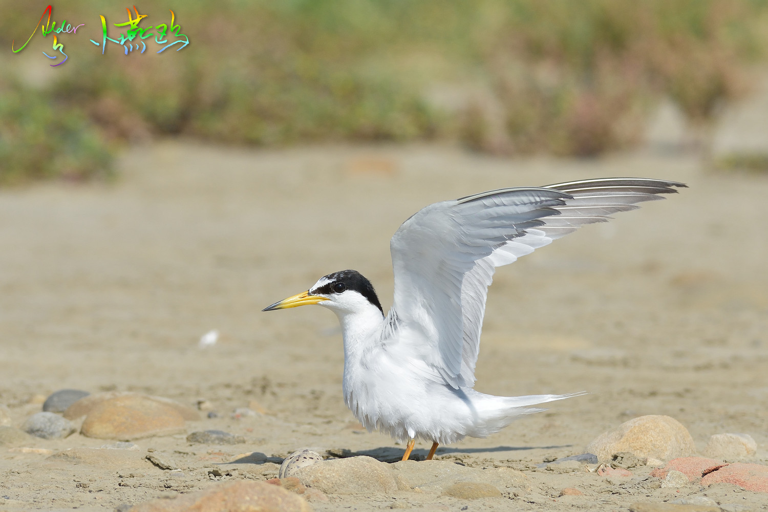 Little_Tern_2555