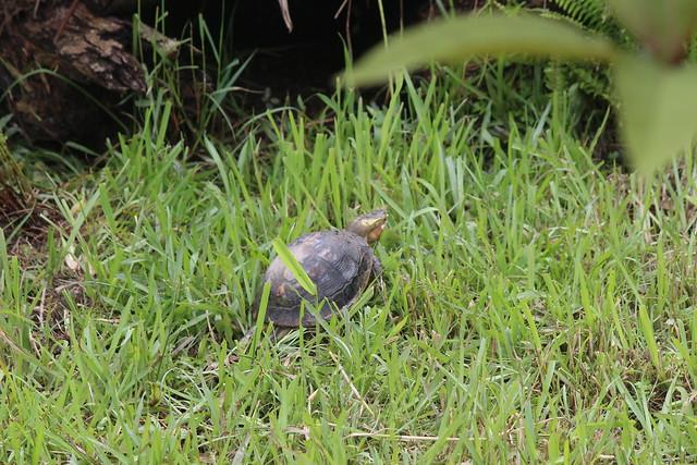 和食蛇龜同屬閉殼龜屬的所有種,都列入保育類物種名單。攝影:廖靜蕙