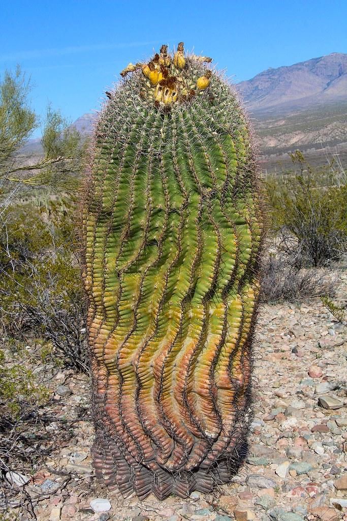 Huge fishhook barrel cactus ferocactus wislinzeni san p for Fish hook cactus