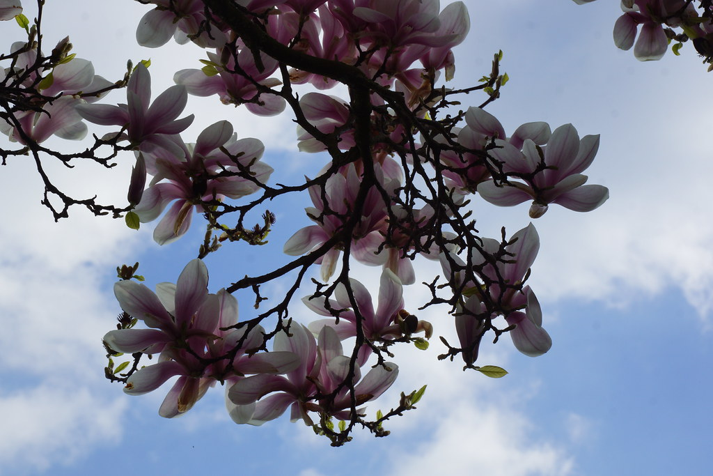 Magnolia Tree Marks And Spencers Car Park Chichester 5
