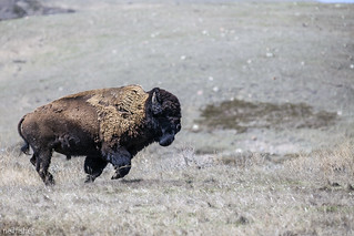 Plains Bison | by neil.fisher