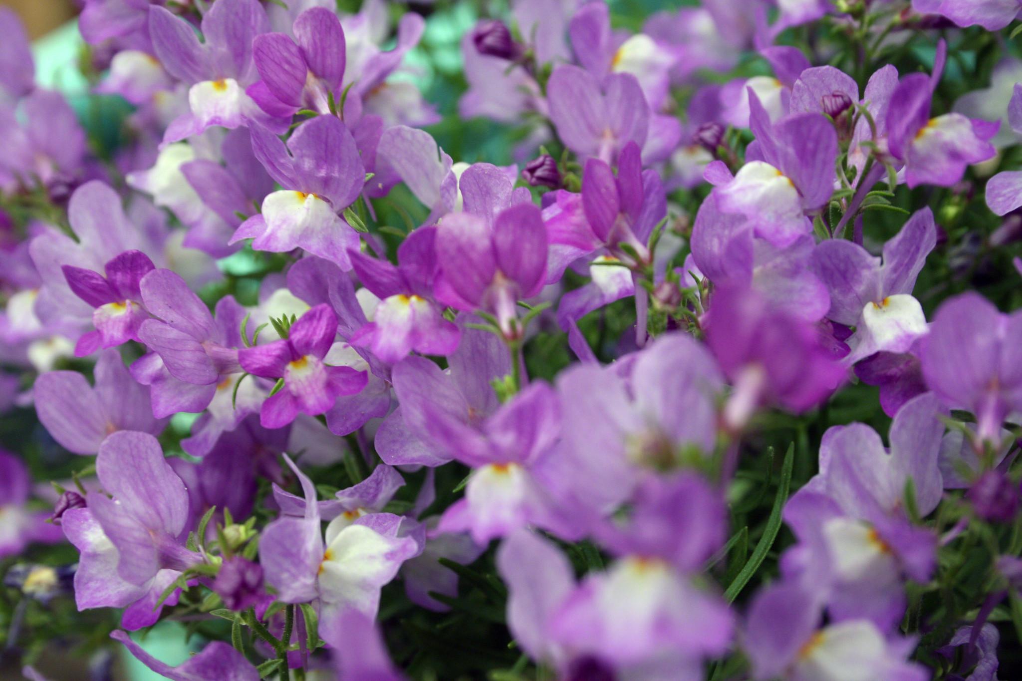 129.365 Purple