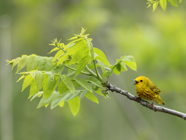 Yellow Warbler singing 2-20150414