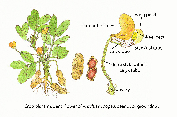 Groundnut faoguida joseph floral diagrams of pollinator flickr groundnut faoguida joseph by fao of the un ccuart Choice Image