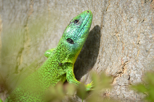 Smaragdeidechse - Male Green Lizard - Lacerta bilineata / Lacerta viridis