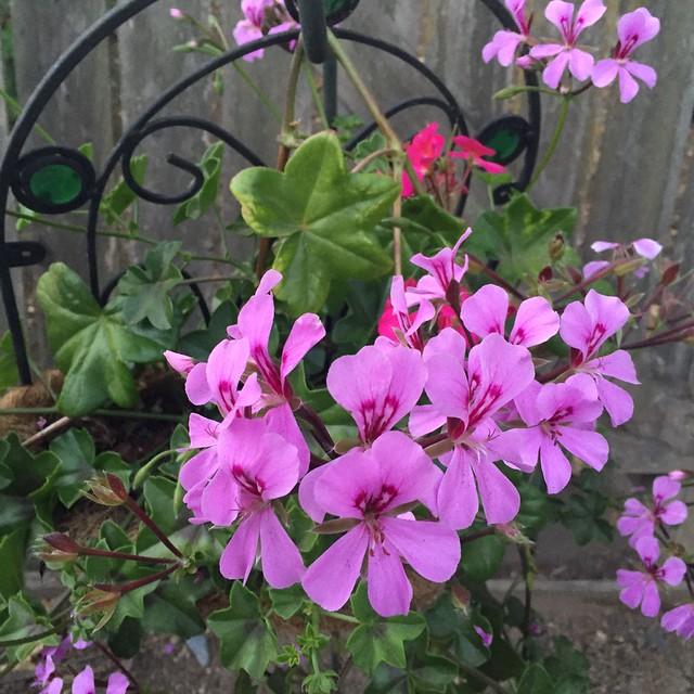 pink trailing geranium