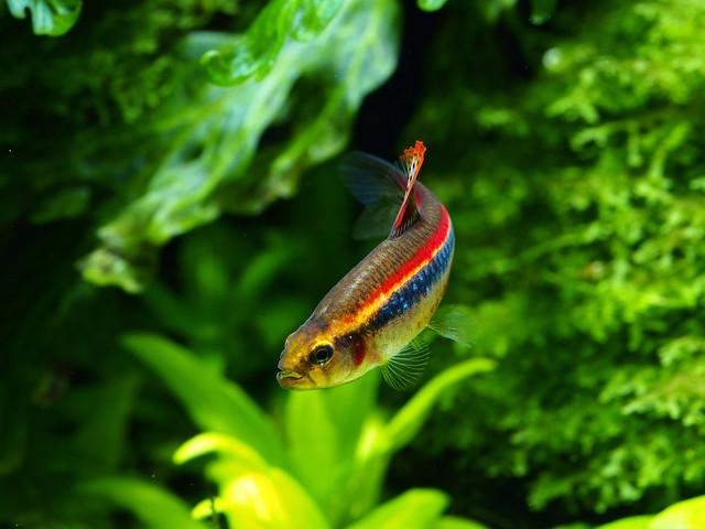 P3279889 珍珠燈魚